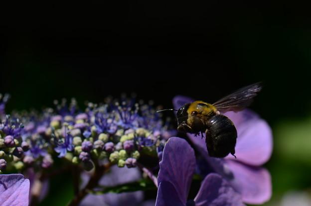 コシブトハナバチ科 クマバチ♀