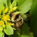 写真: ミツバチ科 クロマルハナバチ♂