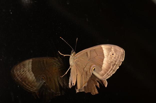 タテハチョウ科 ヒカゲチョウ