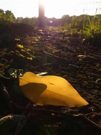 Photos: 野球場前で見つけた黄色い落ち葉2012.10.21光が丘