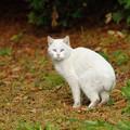 Photos: 20131105_BRFにいた芦毛…じゃない白いニャン。総帥のお気に入り?