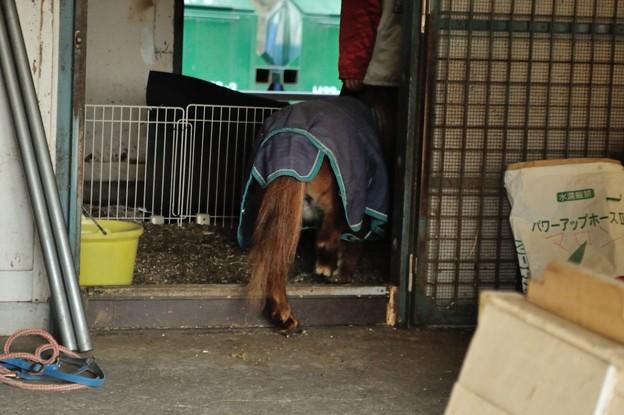ポニー用ではなく大型馬向けの馬房に入る姐さん。跨ぐ姿がかわいい。