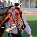 Photos: [140329中山11R日経賞]ウインバリアシオンの軽めのジロリ #ジロリ馬
