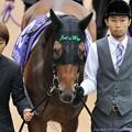 Photos: [140608東京11R安田記念]ジャスタウェイ「善臣さんにかけるだけですよ」