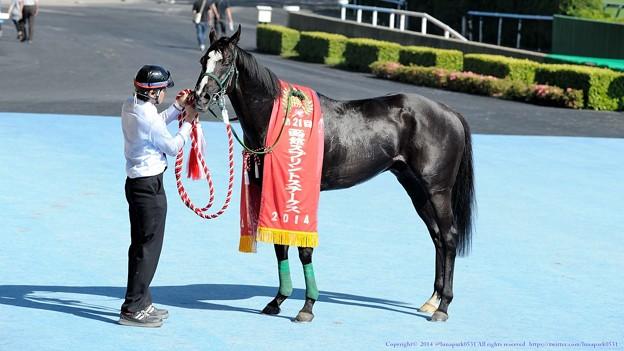 [140622函館11R函館SS]ガルボ「ほれ、漆黒の馬体がよく映えるだろう~」 #ジロリ馬