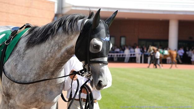 [140622函館11R函館SS]クリーンエコロジー「おいおいお嬢さん、ぼくは誘導馬じゃないんですよ」