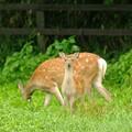 [100824畠山牧場]シカ子「母ちゃん、こっちで見張ってるうちにどんどん食べて!」