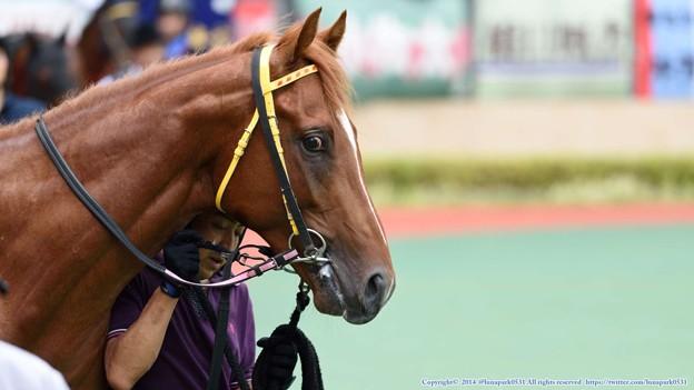 [140727中京5R新馬]?カラトラバ「もっと前に行きたいの!」厩務員さん「はいはい落ち着いて」 #ジロリ馬