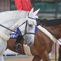 Photos: ベイズウォーター(芦)「人多いなぁ…昼寝してえなぁ~」マイネルスケルツィ「ベイさんもう少し元気出してくださいよ」【140906札幌5R2歳新馬】
