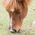 Photos: ペルニー「厩舎工事の騒がしさもないし、草は食い放題だし、いいっすよ」【141107根岸】