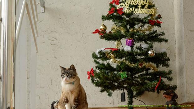 ルルちゃん「メリークリスマスよ。サンタさんになにお願いしようかな~そろそろリスちゃんに会いたいな~(ゴクリ」【141124NHP】
