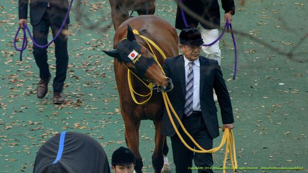 ハープスター「なんで牡馬ってこうも単純なのかしら…」【141130東京11Rジャパンカップ装鞍所】 #JapanCup