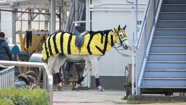 Photos: トライアンフトーチ(推定)「猛虎特別ですからね~けど矢野先生のところは出走馬ナシでした~」【150128川崎11R川崎記念】