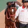 Photos: アンコイルド「距離短いからちゃんと集中できるように今のうちにペロペロしておこう」【150208東京11R東京新聞杯】 #ペロリ馬