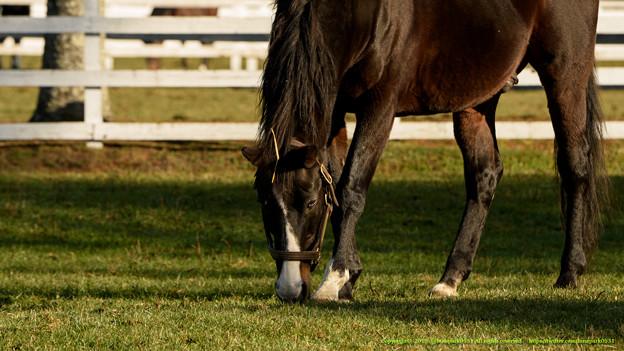 ホワイトマズル「ふふふ、今日もこの漆黒の馬体に惚れるがいい」←ちょんまげ~ちょんまげー!【141123レックススタッド】