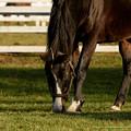 Photos: ホワイトマズル「ふふふ、今日もこの漆黒の馬体に惚れるがいい」←ちょんまげ~ちょんまげー!【141123レックススタッド】
