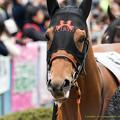 Photos: ?シャイニングレイ「有馬のときの殺気立った雰囲気はなくてよかったです」【150308中山11R弥生賞】 #見つめうま