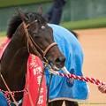 サトノクラウン「これも勝ち馬の宿命なのかぁ、耐えねば~」【150308中山11R弥生賞】