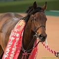 Photos: バウンスシャッセ「人間って勝手な生き物だものね~皐月賞のときに知ったわよ」【150315中山11R中山牝馬S】