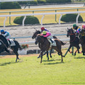 Photos: 50m、直線入ってアンビシャスが抜け出す、アドマイヤジャズいっぱいのところ外からアルパーシャンが上がってくる【141126京都5R新馬】