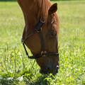 オルフェーヴル「あー、草も完全に乾いたな~」【150717社台SS】 #Orfevre