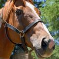 オルフェーヴル「え?いや、俺はあんなに走らんよ、暑いし。おとなしいのよ、俺」【150717社台SS】 #ジロリ馬 #見つめうま #Orfevre