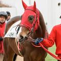 Photos: (1)ゴールドミライ「ミサちゃんと隣なので安心しちゃいます」【160123中山4R新馬】