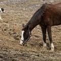 コッチャン「今日は平和ならいいんだけどね」オルソ(犬)「近づかないでおこう…」【160215ホーストラスト放牧地J】