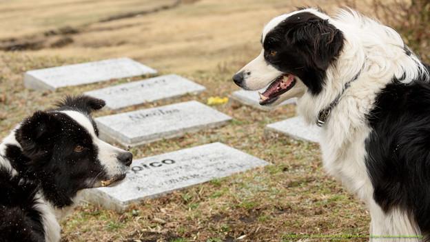 オルソ「母ちゃん、あそぼ?」ローラ「お墓参りしなさい」【160215ホーストラスト放牧地H】