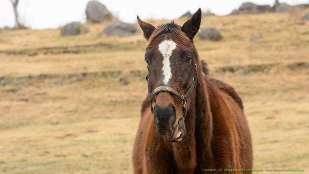 エイシンサンディ「笑わずにはいられませんよハハハハ」【160215ホーストラスト放牧地L】 #見つめうま
