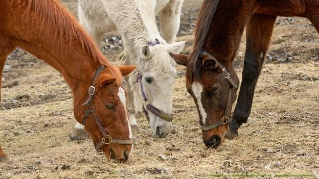 (2)スウィング「仲良くしなさいよ」パラディン・エイシンサンディ「はい」【160215ホーストラスト放牧地L】