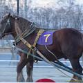 ホリセンショウ、昨年5着に健闘も、引退レースとなる今回は8着に終わる【160320帯広9Rばんえい記念】 #banei #ばんえい記念