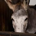 Photos: お馬さん「耳が長いの。ロバ?俺ロバなのかな??」[151106Les Grandes Ecuries]