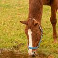 Photos: シルクジャスティス「雨水だから別に気にしないのよ」[181110畠山牧場]
