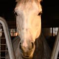 ラニ「俺だってダービー馬。ニンジンに釣られずに顔出す…ああ、夕陽が当たって輝いてる俺…シャンパンゴールド…うっとり。」 #見つめうま [181110アローS]