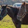 Photos: 同居の牝馬さん(奥)「いろいろ動きが面白いので、見てて飽きないよ」ダイワテキサス「よせやい、照れるべさ」[191020つつみ牧場]