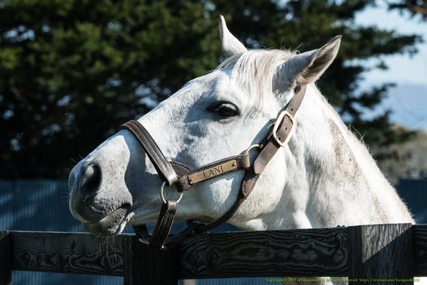 ラニ「こっちにもとびきりピュアな芦毛馬がいるんだけですけどね!」[191021アロースタッド] #ジロリ馬