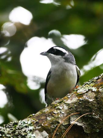 アカバネモズチメドリ♂(White-browed Shrike-babbler) P1200387_R