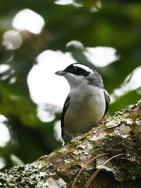 Photos: アカバネモズチメドリ♂(White-browed Shrike-babbler) P1200387_R