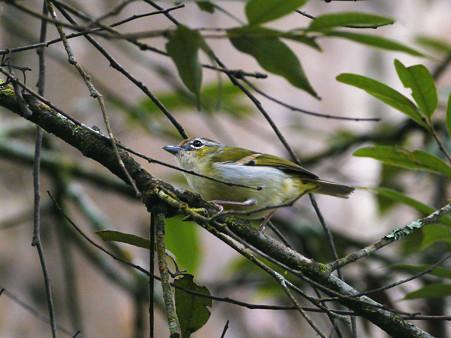 クリビタイモズチメドリ♀(Chestnut-fronted Shrike-babbler) P1200455_R