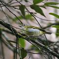 Photos: クリビタイモズチメドリ♀(Chestnut-fronted Shrike-babbler) P1200455_R