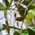 Photos: ムシクイ(Warbler)の一種 P1200617_R