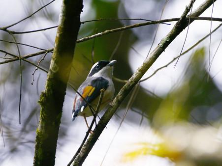 アカバネモズチメドリ♂(White-browed Shrike-babbler) P1200677_R