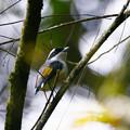 Photos: アカバネモズチメドリ♂(White-browed Shrike-babbler) P1200677_R