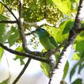 Photos: アオノドゴシキドリ(Blue-throated Barbet) P1200946_R