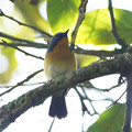 Photos: ミヤマヒメアオヒタキ♂(Hill Blue Flycatcher) P1200936_R