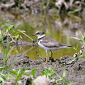 Photos: コチドリ(Little Ringed Plover) P1210442_R