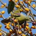 Photos: ハシブトアオバト(Thick-billed Pigeon) P1210768_R