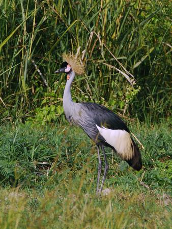 カンムリヅル(Crowned Crane) P1220556_R