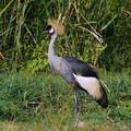 Photos: カンムリヅル(Crowned Crane) P1220556_R